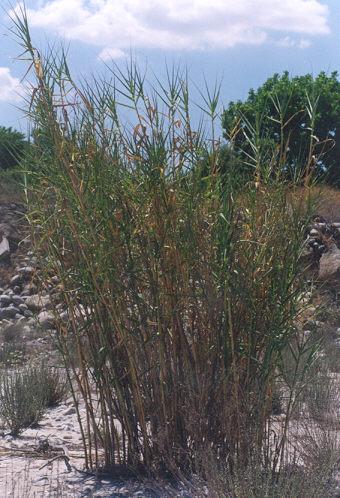 Picture of Arundo donax