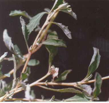 Picture of Atriplex semibaccata
