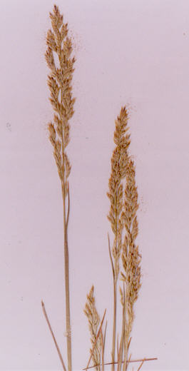 Picture of Puccinellia nutkaensis