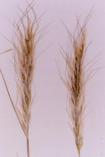 Picture of Achnatherum speciosum