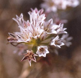 Picture of Allium lacunosum var. lacunosum