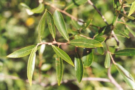 Picture of Salix laevigata