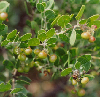 Picture of Arctostaphylos rudis