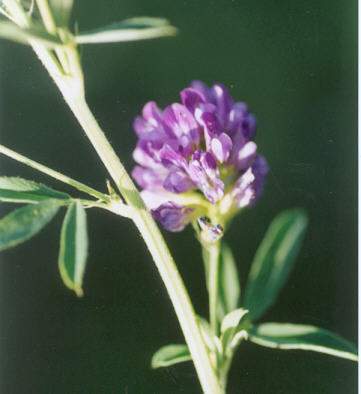 Picture of Medicago sativa