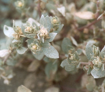 Picture of Atriplex watsonii
