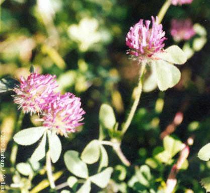 Picture of Trifolium albopurpureum