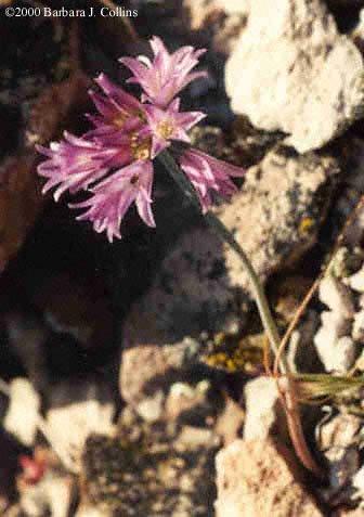 Picture of Allium peninsulare