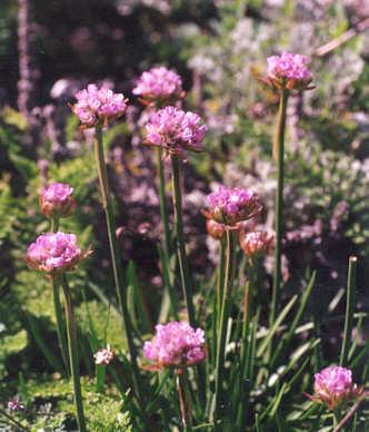 Picture of Armeria maritima var. californica