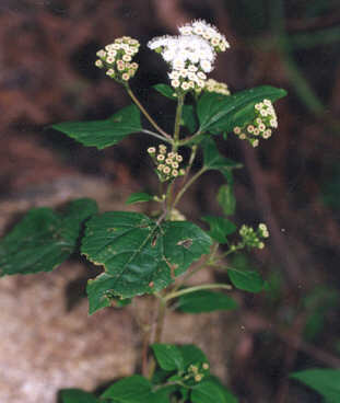 Picture of Ageratina adenophora