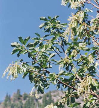 Picture of Arbutus menziesii