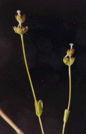 Picture of Centaurium davyi