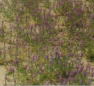 Picture of Lupinus arizonicus