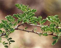 Picture of Acacia greggii