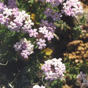 Picture of Verbena gooddingii
