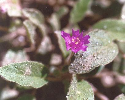 Picture of Allionia incarnata