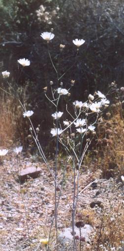Picture of Atrichoseris platyphylla