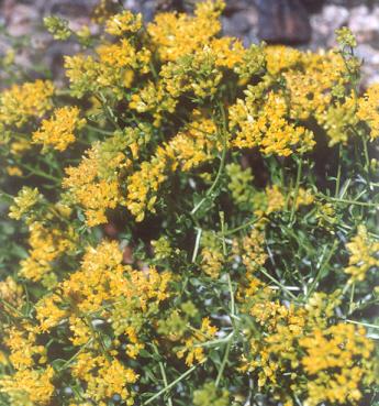 Picture of Amphipappus fremontii