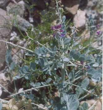 Picture of Astragalus newberryi