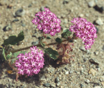 Picture of Abronia villosa