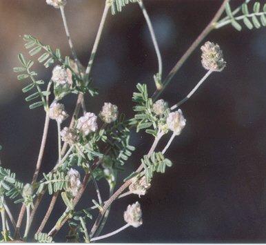 Picture of Astragalus didymocarpus var. dispermus