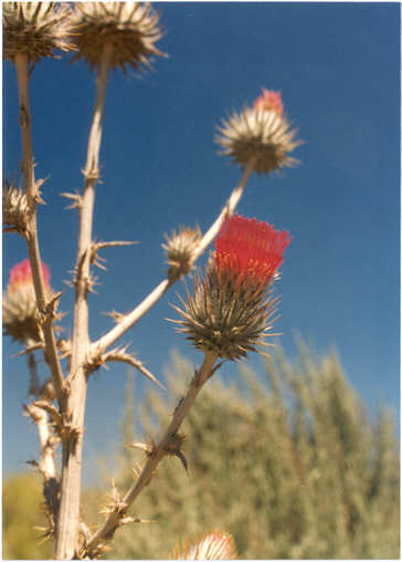 Picture of Cirsium andersonii