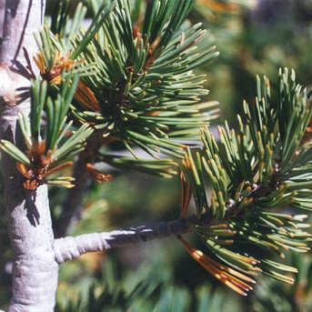 Picture of Pinus albicaulis