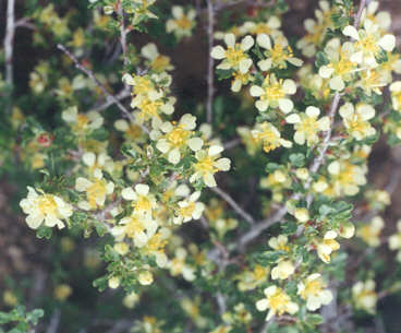Picture of Purshia tridentata var. tridentata