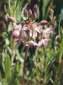 Picture of Allium campanulatum