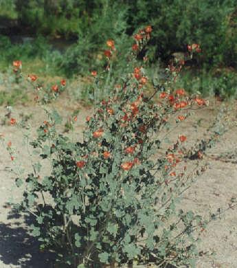 Picture of Sphaeralcea ambigua