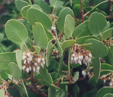 Picture of Arctostaphylos patula