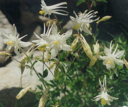 Picture of Aquilegia pubescens