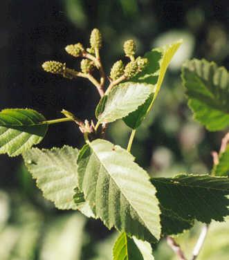 Picture of Alnus incana ssp. tenuifolia