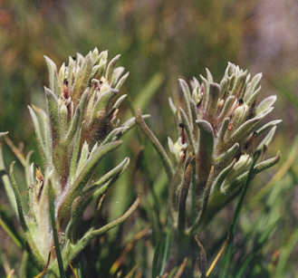 Picture of Castilleja nana