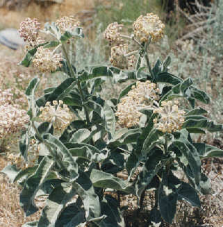 Picture of Asclepias erosa