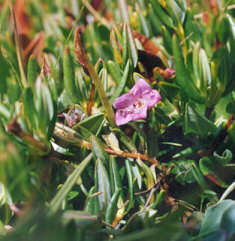 Picture of Kalmia polifolia