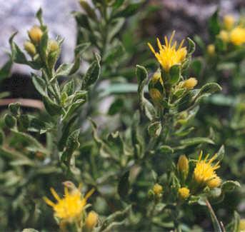 Picture of Ericameria discoidea