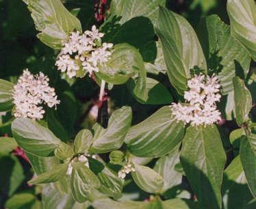 Picture of Cornus sericea