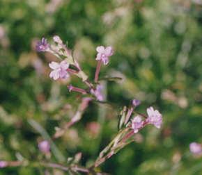 Picture of Epilobium glaberrimum