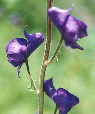 Picture of Aconitum columbianum