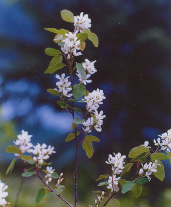 Picture of Amelanchier alnifolia