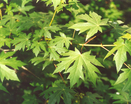 Picture of Acer macrophyllum