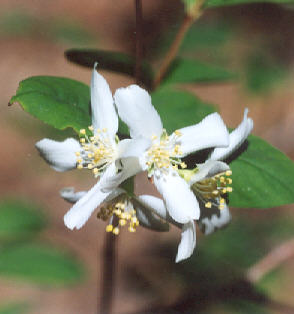 Picture of Philadelphus lewisii