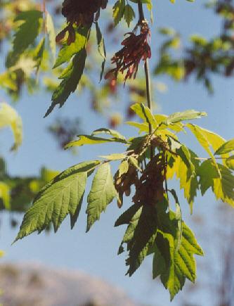 Picture of Acer negundo var. californicum