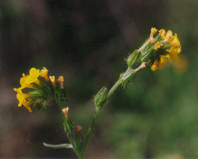 Picture of Amsinckia menziesii var. intermedia