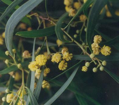 Picture of Acacia retinodes
