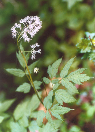 Picture of Actaea rubra