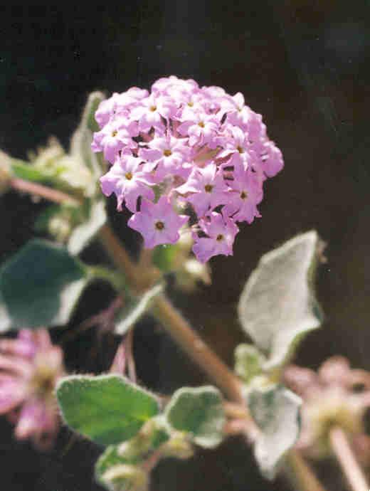 Picture of Abronia umbellata