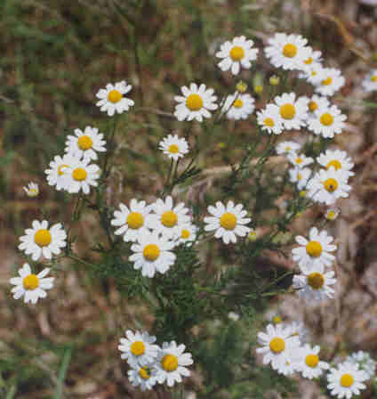 Picture of Anthemis cotula