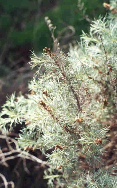 Picture of Artemisia californica